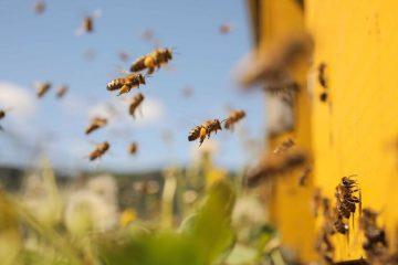 Bites skrenda prie geltono avilio