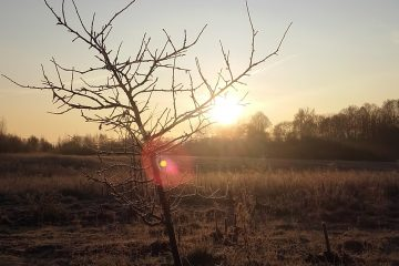 Medis Krunu kaime anksti ryte saulei svieciant